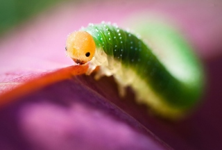 Caterpillaer Macro Background for Android, iPhone and iPad