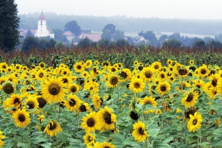 Free Sunflower Field In Germany Picture for Android, iPhone and iPad