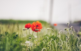 Обои Poppy Flowers на телефон Widescreen Desktop PC 1600x900
