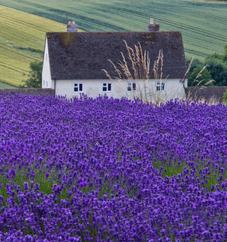 House In Lavender Field sfondi gratuiti per iPad mini