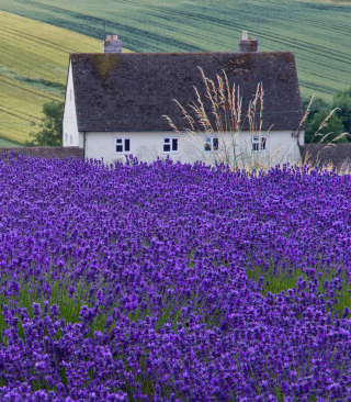 House In Lavender Field Background for 240x320