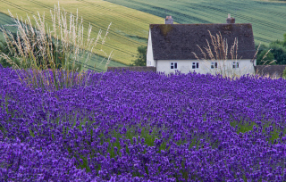 Free House In Lavender Field Picture for Android, iPhone and iPad