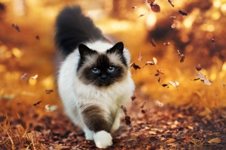 Free Siamese autumn cat Picture for Android, iPhone and iPad