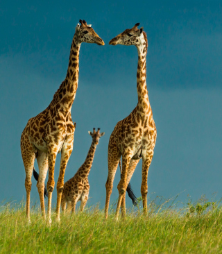 Free Giraffes Family Picture for Nokia C1-01