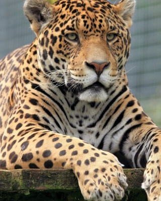 Free Leopard in Botswana Picture for HTC Titan