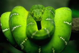 Green Python Snake Background for Android, iPhone and iPad
