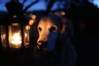 Ginger Dog In Candle Light Picture for Android, iPhone and iPad
