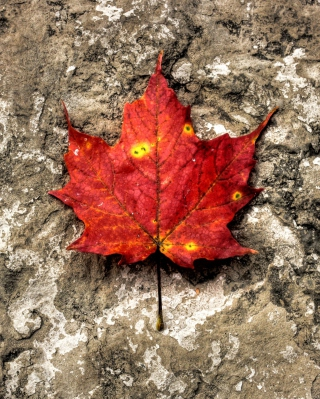 Red Maple Leaf Background for 480x800
