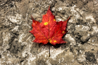 Red Maple Leaf - Fondos de pantalla gratis para Samsung Galaxy S5