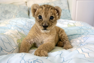 Free Lion Cub Picture for Android, iPhone and iPad