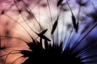 Dandelion Parachutes Macro Wallpaper for Android, iPhone and iPad