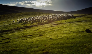 Free Sheep On Green Hills Of England Picture for Android, iPhone and iPad