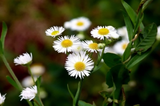 Free White Daisies Picture for HTC Desire HD