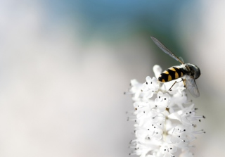 Bee On White Flower - Fondos de pantalla gratis