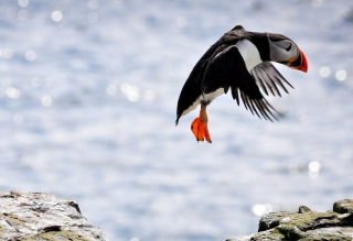 Free Funny Puffin Picture for Android, iPhone and iPad