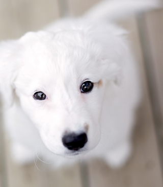 White Puppy With Black Nose Background for HTC Titan
