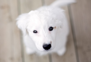 White Puppy With Black Nose Background for Android, iPhone and iPad