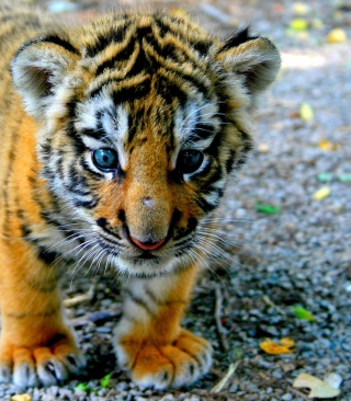 Baby Tiger Picture for Nokia C1-01