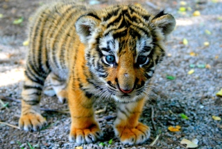 Baby Tiger Picture for Android, iPhone and iPad
