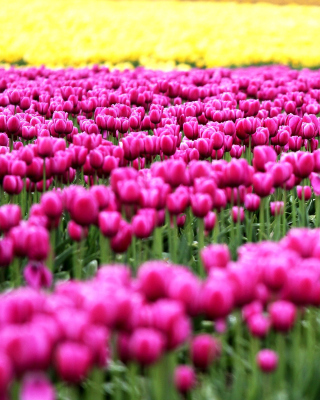 Tonami, Toyama Tulips Garden Wallpaper for HTC Titan