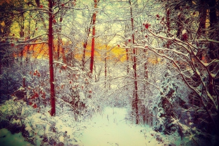 Winter Siberian Forest Wallpaper for Android, iPhone and iPad