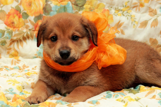 Cute Puppy Background for Desktop 1280x720 HDTV