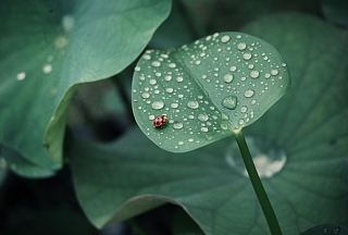 Ladybug On Leaf Background for 480x400