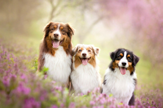 Australian Shepherd Dogs Background for Android, iPhone and iPad