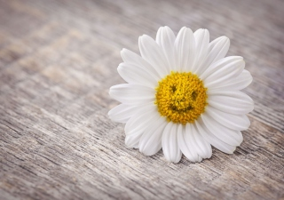 Smiling Daisy Picture for Android, iPhone and iPad