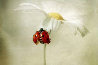 Ladybug On Daisy Wallpaper for Android, iPhone and iPad