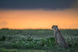 Free Cheetah Picture for Android, iPhone and iPad