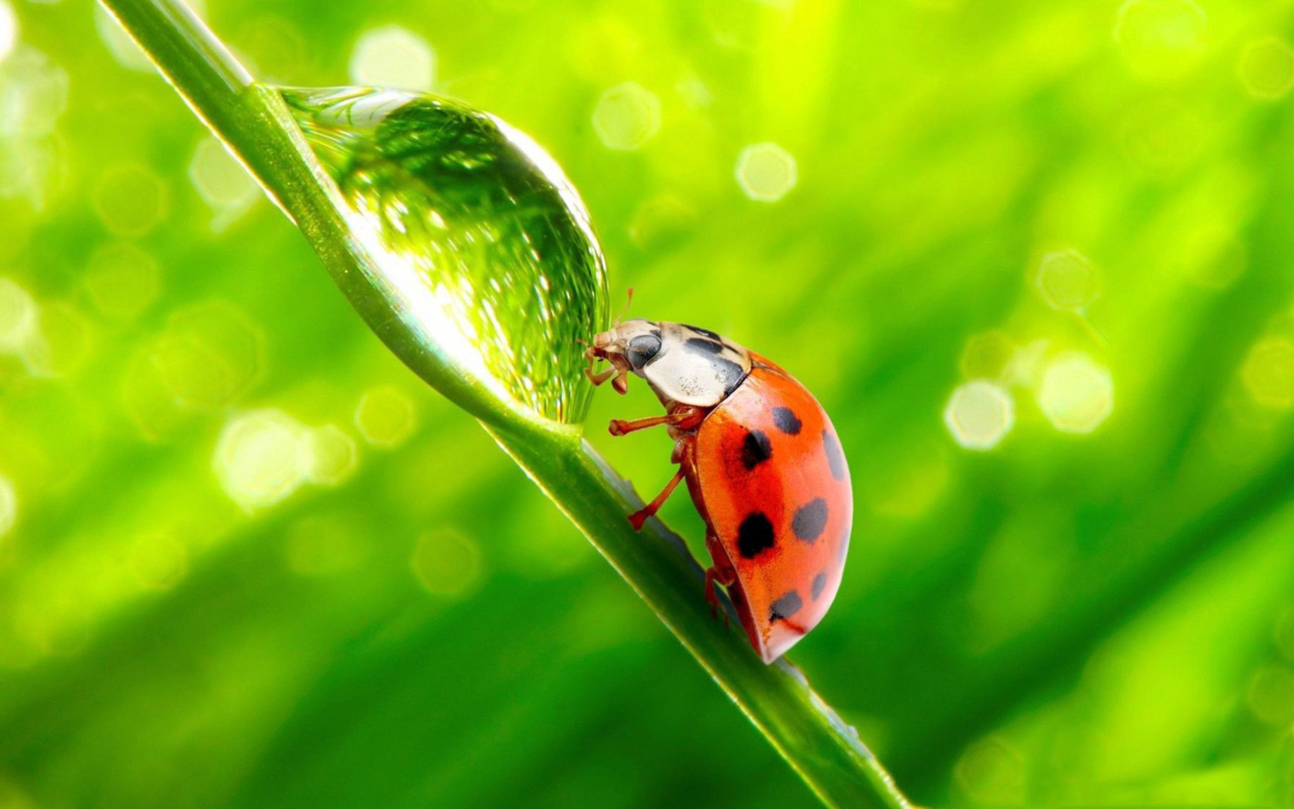природа насекомое макро божья коровка цветы роса бесплатно