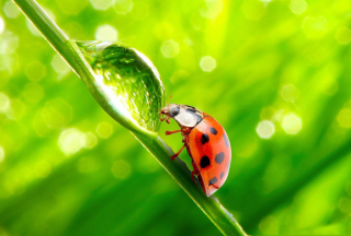 Ladybug Waterdrop Background for Android, iPhone and iPad