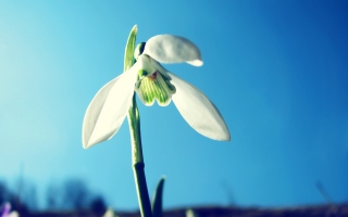 Snowdrop Picture for HTC Desire HD