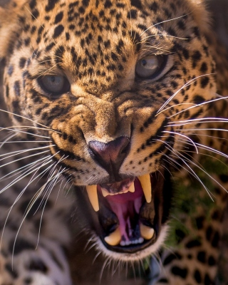 Free Leopard attack Picture for Nokia C2-02