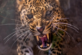 Leopard attack Wallpaper for Samsung Galaxy Ace 4