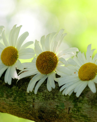 Daisies Background for Nokia C1-01