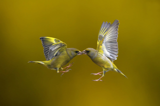 Birds Kissing sfondi gratuiti per Samsung Galaxy Ace 3