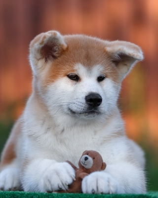 Akita Inu Puppy Wallpaper for Nokia C1-01