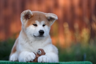 Akita Inu Puppy Background for Android, iPhone and iPad