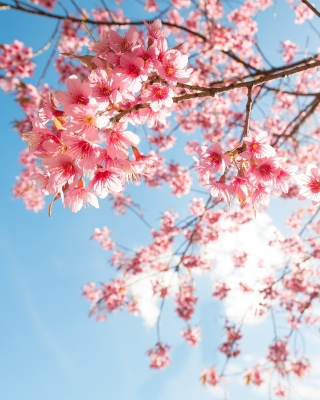 Sakura in Washington DC Wallpaper for Nokia C1-01