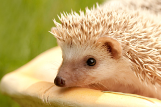 European hedgehog Background for Android, iPhone and iPad