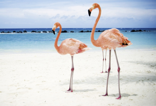 Pink Flamingo Background for Android, iPhone and iPad