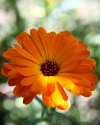 Orange Flower Close Up Wallpaper for iPhone 5