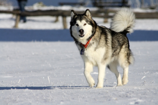 Alaskan Malamute Dog Background for Android, iPhone and iPad