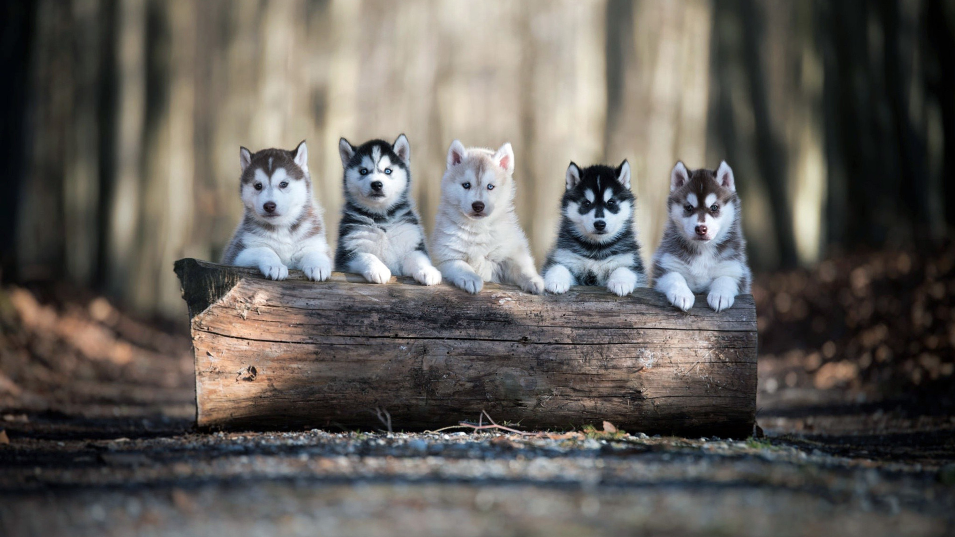 Alaskan Malamute Puppies wallpaper 1920x1080