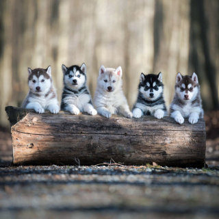 Alaskan Malamute Puppies Wallpaper for iPad 3