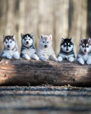 Alaskan Malamute Puppies Wallpaper for Nokia X3