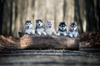 Alaskan Malamute Puppies Background for Sony Xperia Z1