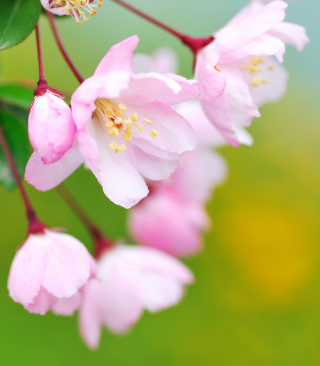 Soft Pink Cherry Flower Blossom sfondi gratuiti per iPhone 6
